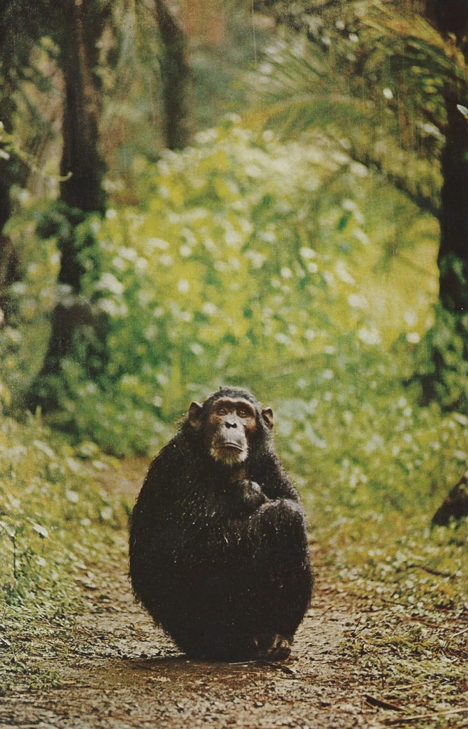 Chimpanzee Melissa huddles forlornly over her baby, shielding him from a downpour. National Geographic | December 1965
